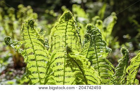 fresh young fern leaves in sunlight in the forest.