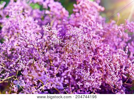 purple bush of Limonium blooming close up