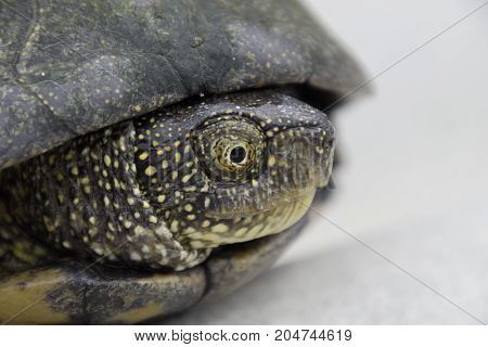 Ordinary River Tortoise Of Temperate Latitudes. The Tortoise Is An Ancient Reptile.