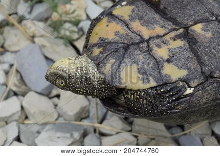 The Tortoise Lies Upside Down On The Back. Ordinary River Tortoise Of Temperate Latitudes. The Torto