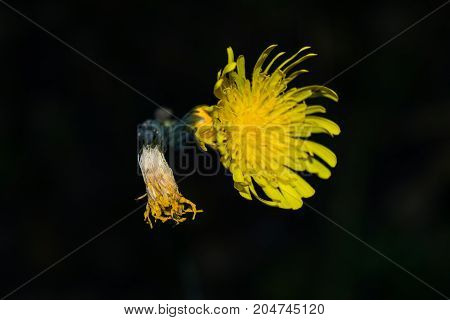 Beautiful Yellow Forest Flower Close-up On A Dark Background