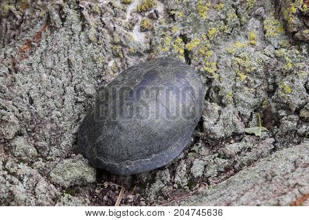 Tortoise On The Bark Of A Tree. Ordinary River Tortoise Of Temperate Latitudes. The Tortoise Is An A