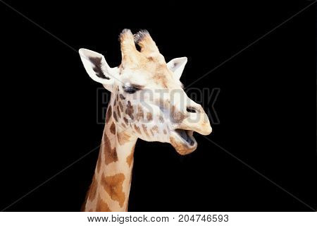 Close-up of the side of a giraffe with his mouth open as if chatting. With space for text.