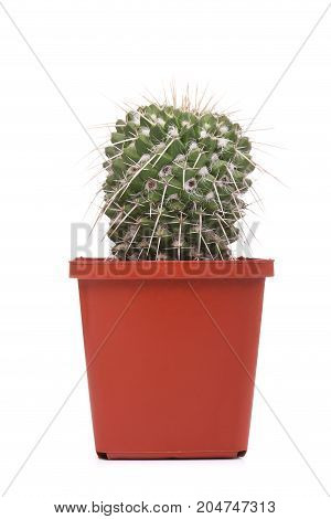 Beautiful cactus in a red pot isolated on a white background