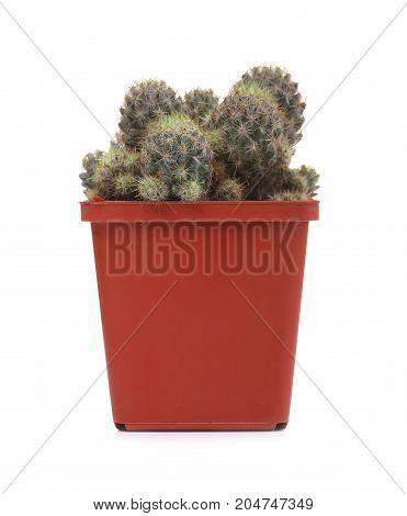 Home cactus in a red pot on a white background