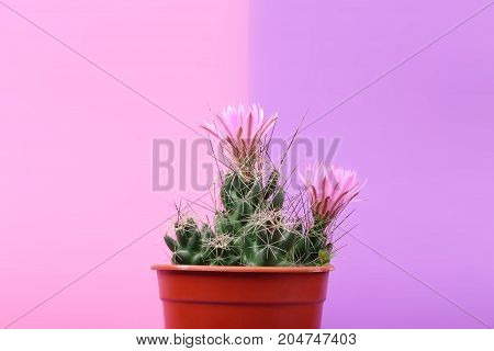 Lovely plant indoor. Cactus flower. Cactus in a plastic penny. Beautiful cactus pink red flowers bloom on pink background. A small prickly cactus in a red pot.