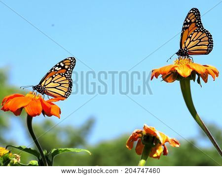 Two Monarch butterflies on red daisies in garden on bank of the Lake Ontario in Toronto Canada September 12 2017