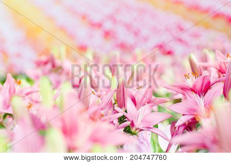 Pink lily flower blossom in a garden,flowers background