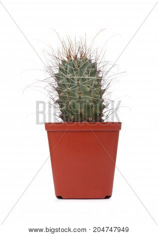 Beautiful indoor cactus in a pot isolated on white background