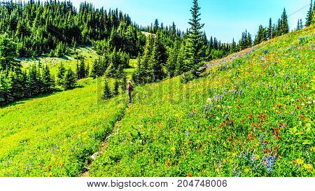 Woman hiking through the meadows covered in wildflowers in the high alpine near the village of Sun Peaks, in the Shuswap Highlands in central British Columbia Canada
