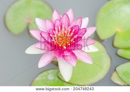 Pink waterlily flower blossom in a pond,decoration flowers and religion sign in Asian