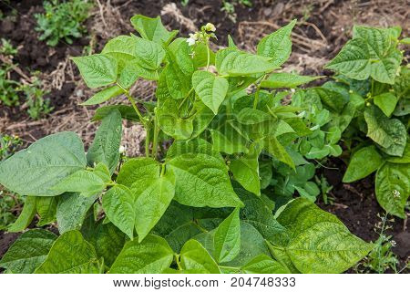 Common Bean Plant (phaseolus Vulgaris) At Cultivation Field