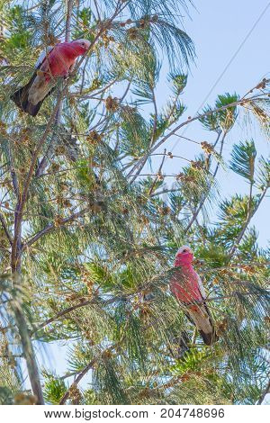 Pair colorful parrots Galah outdoors on a branch of tree in the morning. Australian pink and grey cockatoo