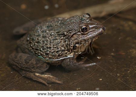 frog on water in Fish ponds - stock image
