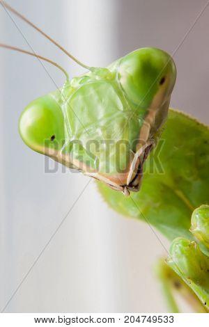 close up of mantis - stock image