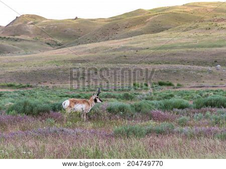 Male pronghorn antelope standing in a meadow with tall grasses in the foreground and foothills in the background.
