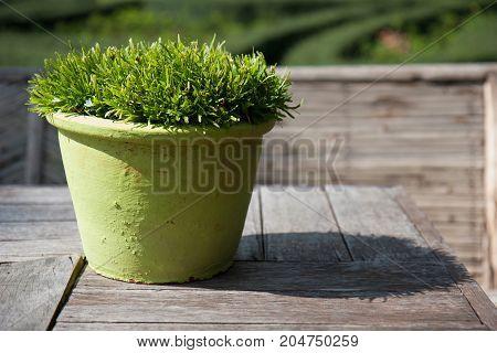 garden tree in green flowerpot on the wood table.
