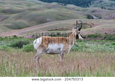 Close up of a male pronghorn antelope standing in tall grass. Shown in profile.