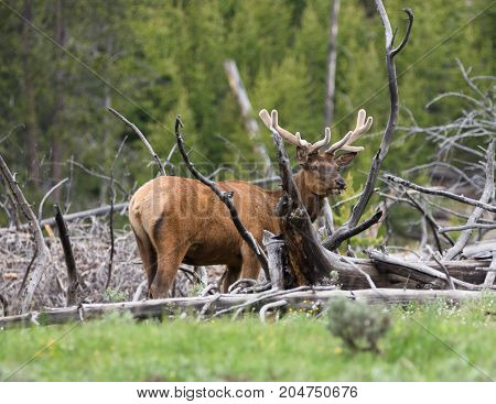 Adult male elk with velvet antlers chewing grass while standing among dead trees.