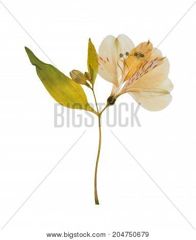 Pressed and dried flower alstroemeria isolated on white background. For use in scrapbooking floristry or herbarium.