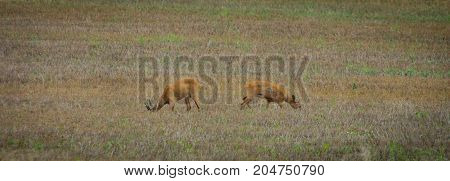 Two roe deers on a field standing away from eachother