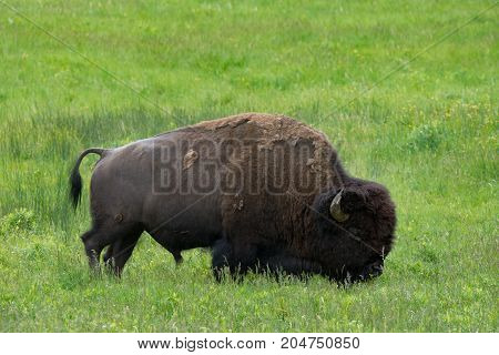 Close up of a single bison grazing in a green meadow of grass and wildflowers. Seen in profile.