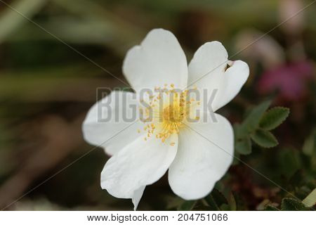 Burnet Rose (rosa Spinosissima)