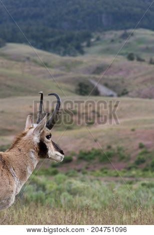 Close up of the head and neck of a pronghorn antelope with rolling hills in the background.