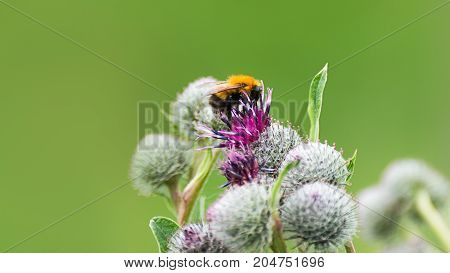 Pollination Concept: Close-up Of A Bumblebee On Purple Great Globe Thistle Flower With Blurred Green