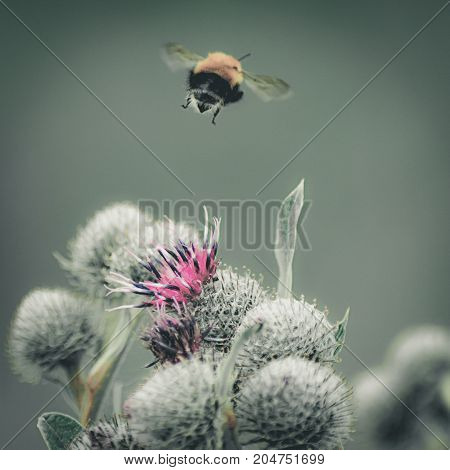 Vintage faded close-up image of a bumblebee flying away from purple Great Globe Thistle flower blurred green background poster