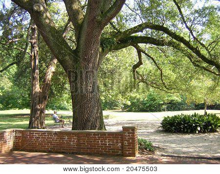 Large live oaks & Man