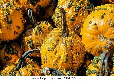 Pile of Yellow Pumpkins with Warts at a fresh market