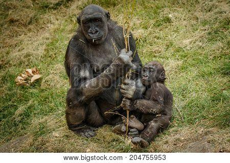Sad view of bored mama gorilla with baby, Calgary ZOO, Canada
