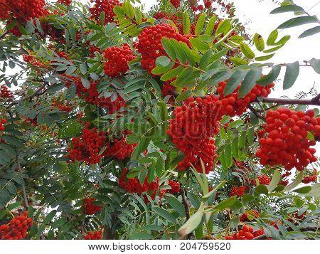 Rowan tree with red ripe rowan berry
