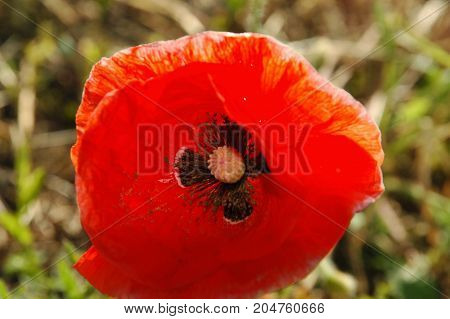Delightful and charming poppy flower closeup on a background of green grass