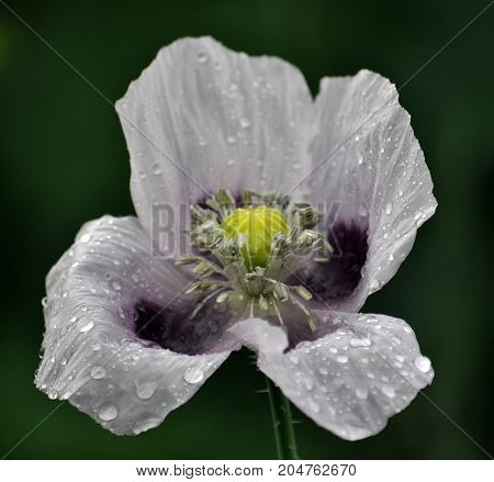 Opium poppy flower with petals in the morning dew
