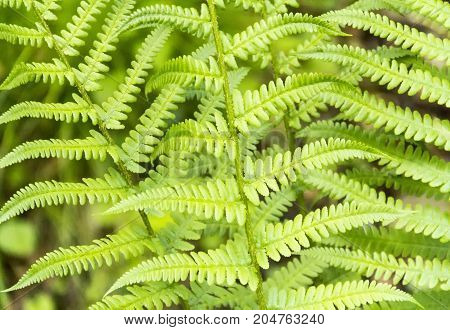 picture of a full frame fern fronds closeup