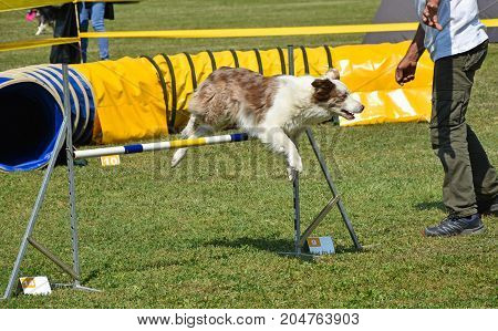 Dog agility contest outdoor in summer time