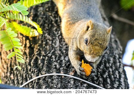 A squirrel lives on a tree and descends to the bottom and picks it up to eat.