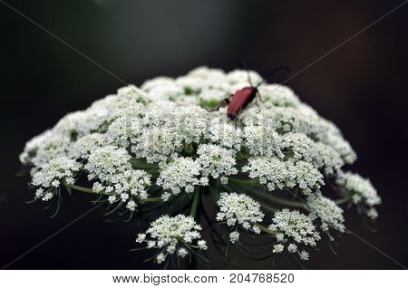 Umbrella inflorescence of white flowers biennial carrot seed which is grown for seed
