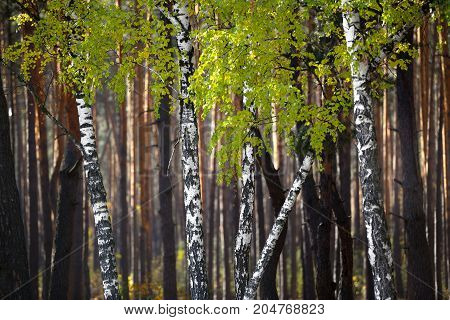 Birch trees in the sunny autumn forrest