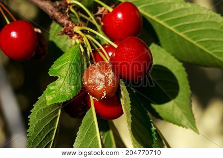 The rotten moldy cherry with green leaves