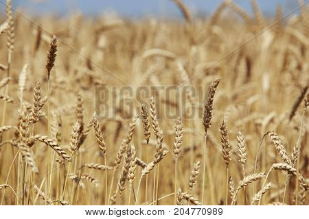 The many ripe golden ears of wheat