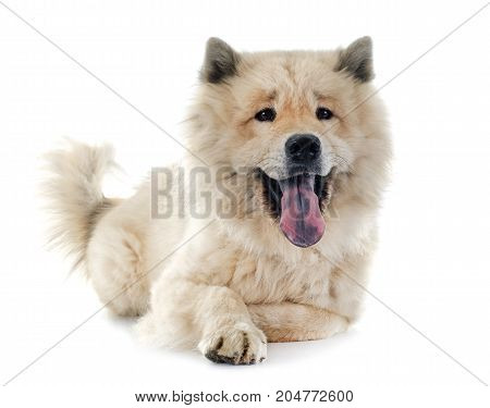 brown eurasier in front of white background