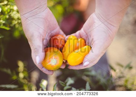 Farmers Hands With Freshly Harvested Tomatoes And Pepper. Freshly Harvested Tomatoes In Hands. Young
