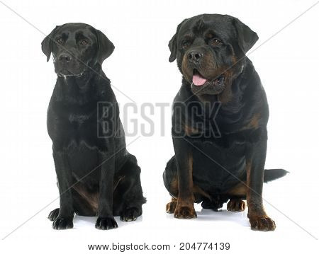 rottweiler and labrador retriever in front of white background