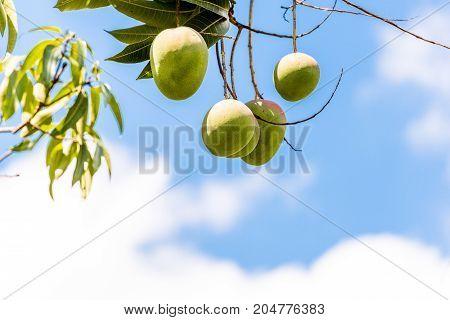 Fruits Of Mango Against The Sky, Vinales, Pinar Del Rio, Cuba. Close-up. Copy Space For Text.