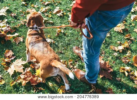 Man with beagle dog on walk in autumn park