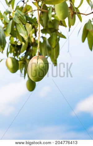 Fruits Of Mango Against The Sky, Vinales, Pinar Del Rio, Cuba. Close-up. Copy Space For Text. Vertic