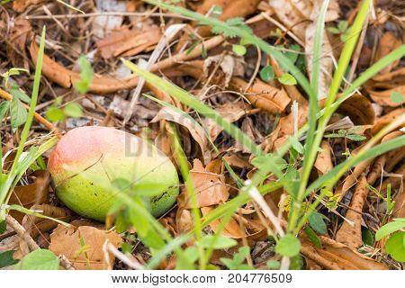 Mango On The Ground, Vinales, Pinar Del Rio, Cuba. Close-up.